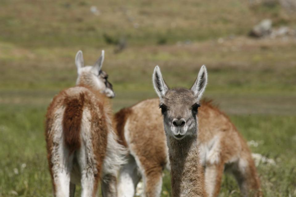 alpacas-816845_960_720.jpg
